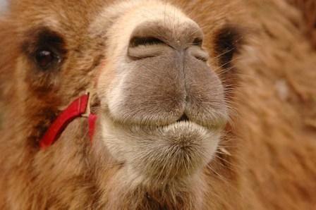 Photo  11  :  chameau : les ancêtres des camélidés