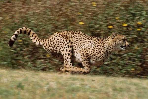 photo 15 gu pard la pointe de vitesse jaguar qui court. Black Bedroom Furniture Sets. Home Design Ideas
