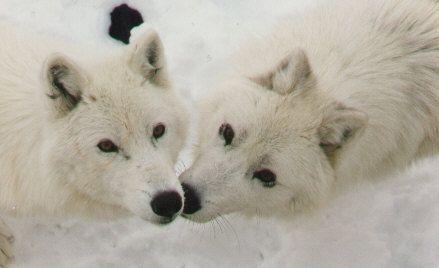 Mon amour pour les loups - Page 2 Aw0amfi6