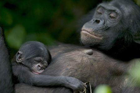 Les chimpanzés, comme l'Homme, subissent l'épreuve du deuil