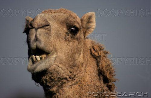 Photo  8  ;  chameau  :  quand le chameau blatère