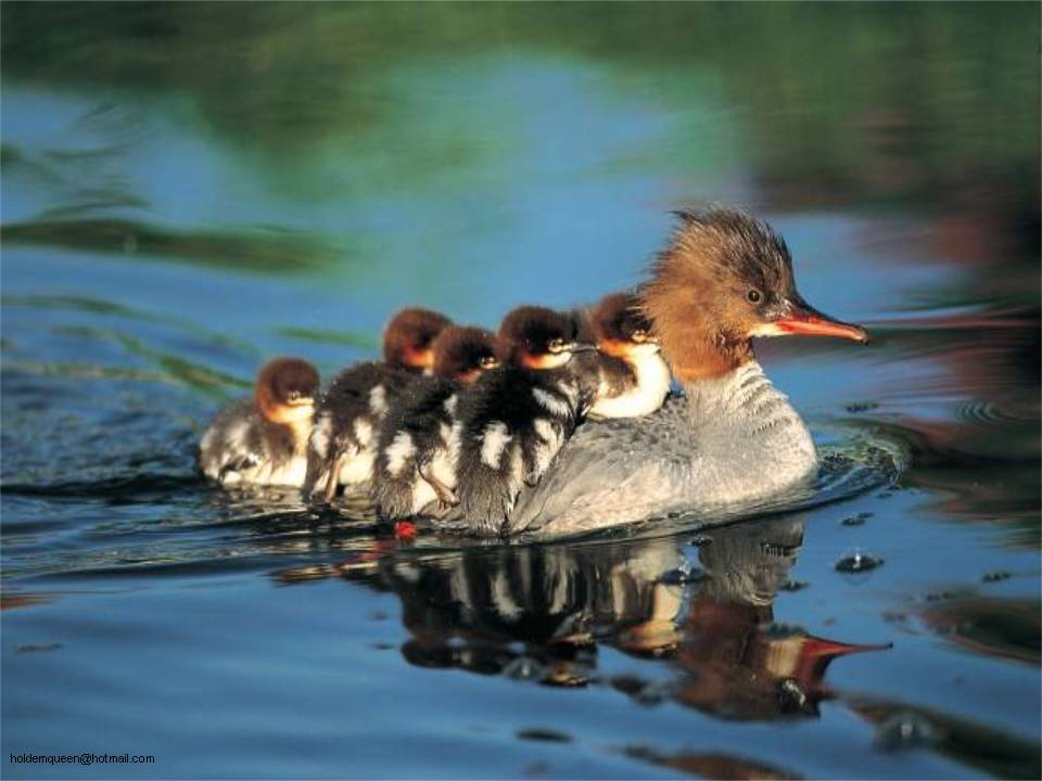 Photo  7  :  canard  :  transport en commun