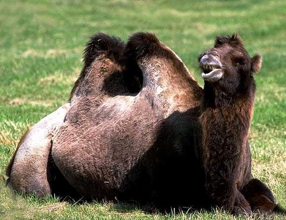 Photo  10   :   chameau   :     l'avenir du chameau